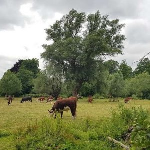 Cows grazing on Lammas Land, Newnham Rd, Cambridge, July 2020
